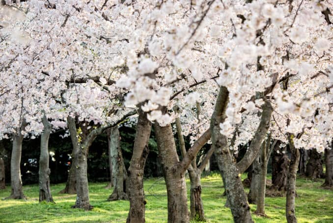 Washington DC Cherry Blossoms - April 2, 2019