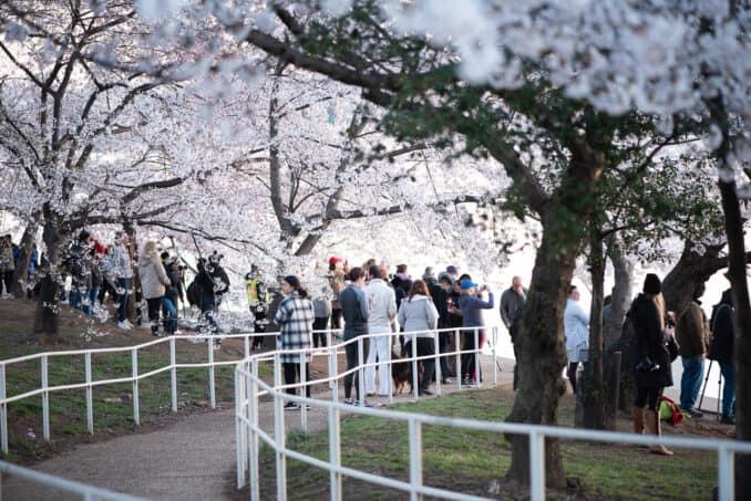 Washington DC Cherry Blossoms - April 3, 2019