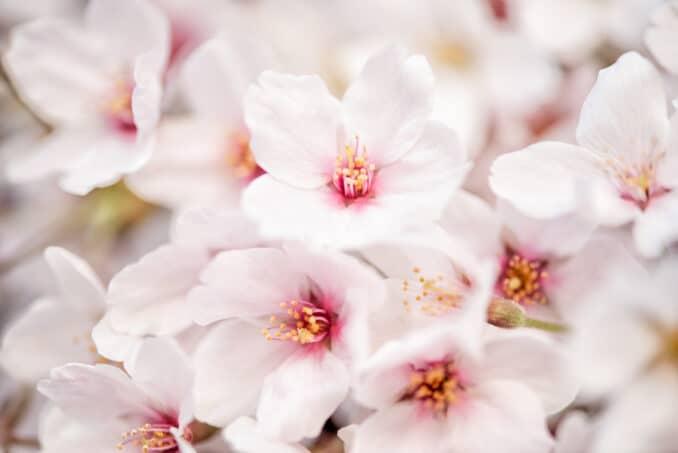 Washington DC Cherry Blossoms - April 4, 2019