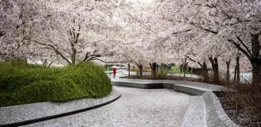 Washington DC Cherry Blossoms - April 5, 2019