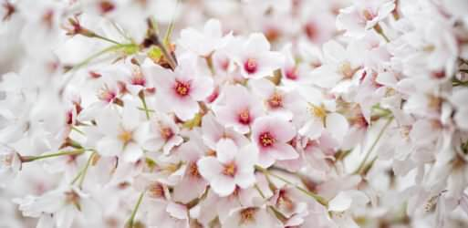 Washington DC Cherry Blossoms - April 6, 2019