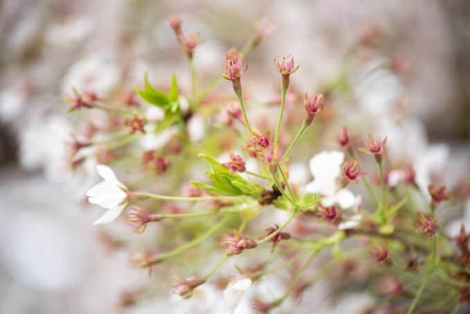 Washington DC Cherry Blossoms - April 7, 2019