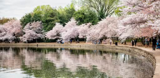 Washington DC Cherry Blossoms - April 7, 2019