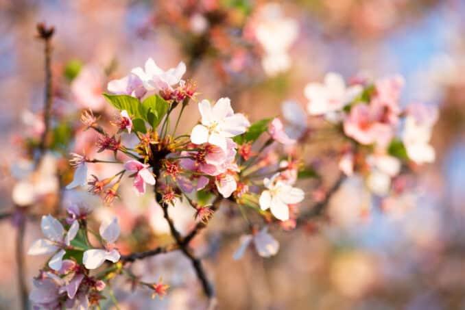 Washington DC Cherry Blossoms - April 10, 2019