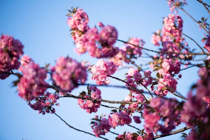 Washington DC Kwzanzan Cherry Blossoms - April 10, 2019