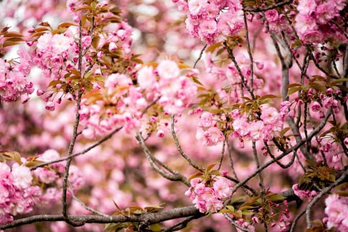 Washington DC Kwanzan Cherry Blossoms - April 12, 2019