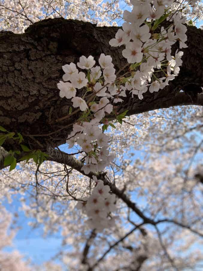 dc cherry blossoms 040620192 678x904 - Reader Photos 2019   Part 4