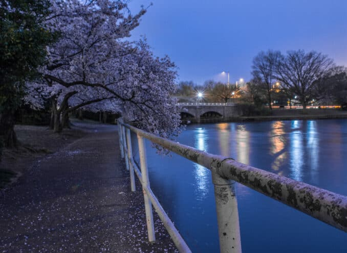 follow the curve of the cherry blossoms 1 678x496 - Reader Photos 2019 | Part 3