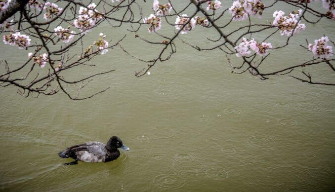 scaup and blossoms 678x389 - Reader Photos 2019 | Part 2