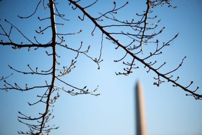 Photo of Washington DC Cherry Blossoms - February 15, 2020 taken by David Coleman.