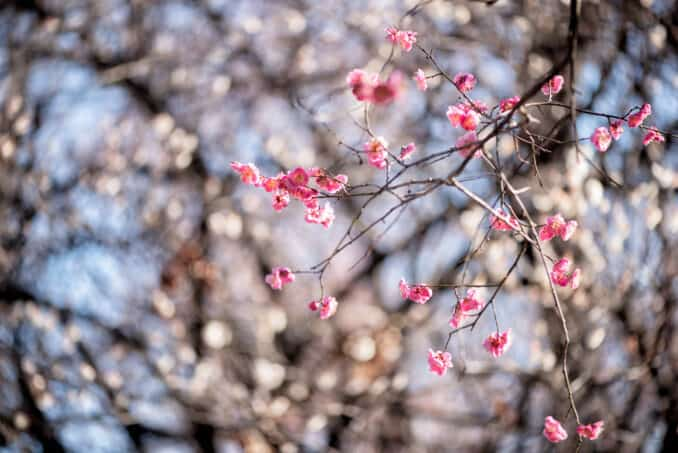 Photo of Flowering fruit trees near the DC World War I Memorial.- February 22, 2020 taken by David Coleman.