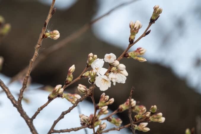 Photo of Washington DC Cherry Blossoms - March 4, 2020 taken by David Coleman.