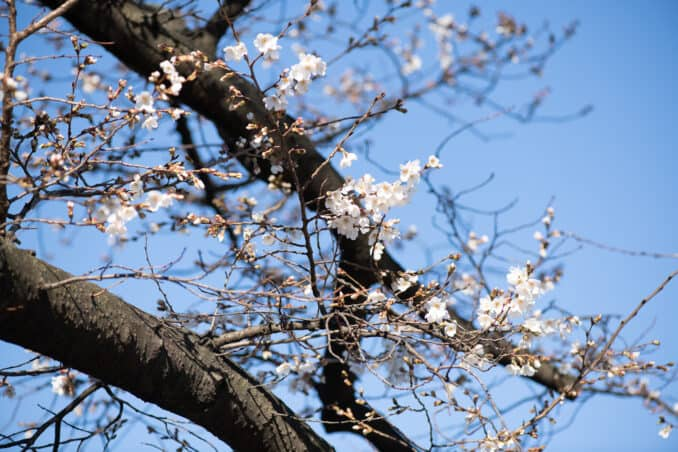 Photo of Washington DC Cherry Blossoms - March 8, 2020 taken by David Coleman.