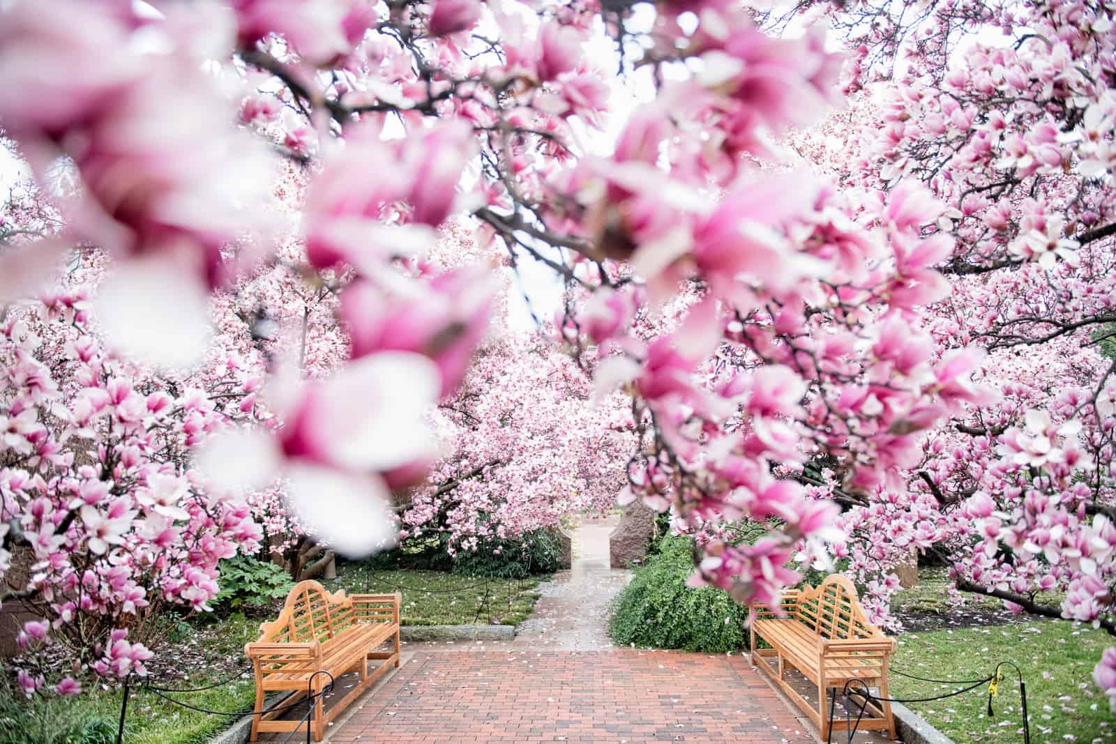 Dc Cherry Blossom Watch Update March 13 2020