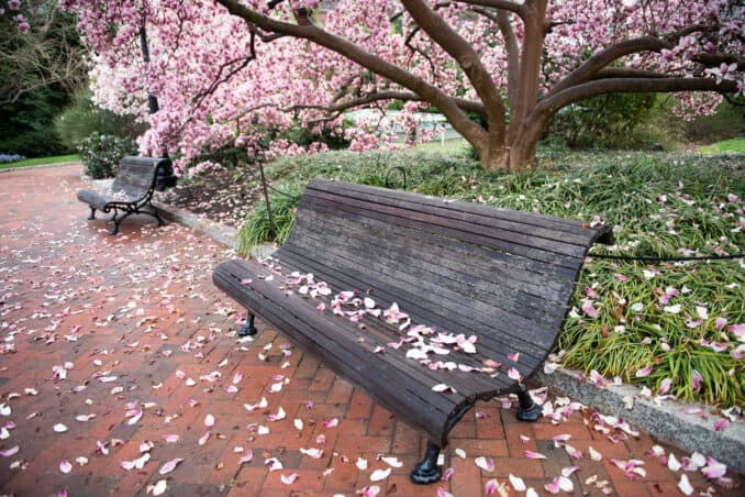 Photo of Washington DC Cherry Blossoms - March 13, 2020 taken by David Coleman.