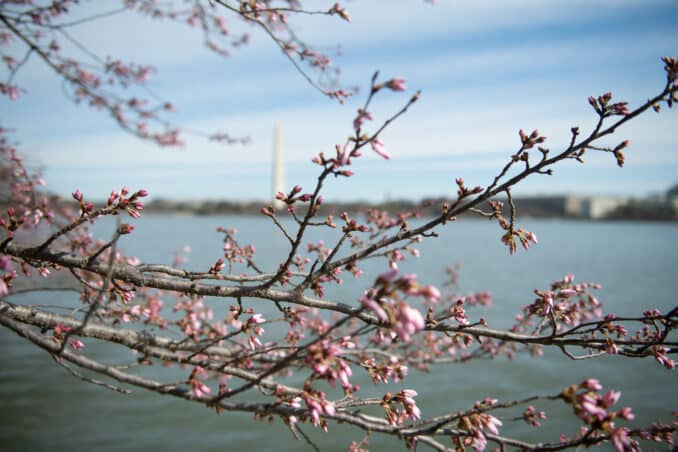Photo of Washington DC Cherry Blossoms - DATE, 2020 taken by David Coleman.