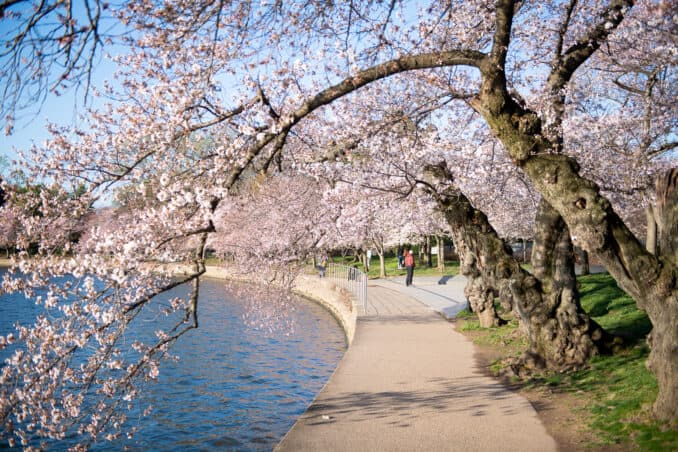 Photo of Washington DC Cherry Blossoms - March 16, 2020 taken by David Coleman.