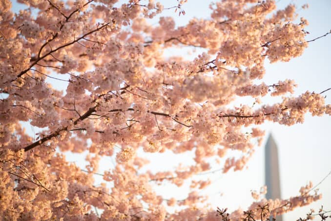 Photo of Washington DC Cherry Blossoms - March 18, 2020 taken by David Coleman.