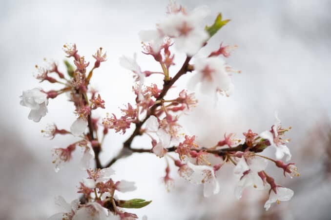 Photo of Washington DC Cherry Blossoms - March 19, 2020 taken by David Coleman.