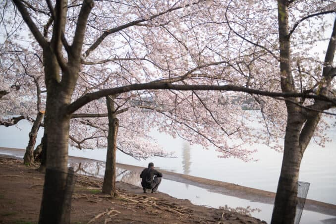 Photo of Washington DC Cherry Blossoms - March 20, 2020 taken by David Coleman.