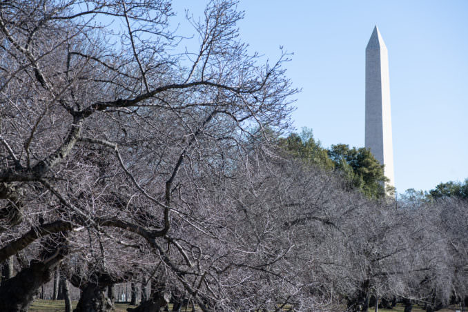 Photo of Washington DC Cherry Blossoms - March 7, 2021 taken by David Coleman.