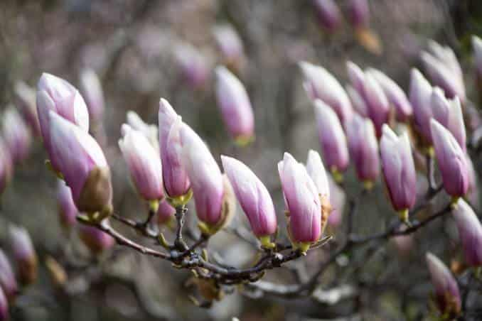Photo of Washington DC Saucer Magnolias - March 23, 2021 taken by David Coleman.