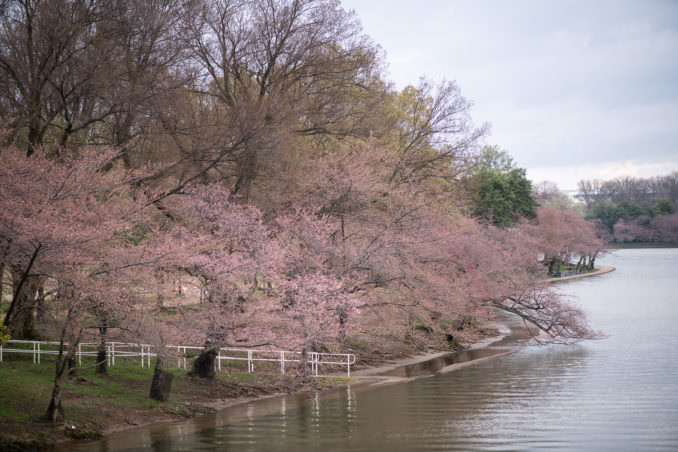 Photo of Washington DC Cherry Blossoms - March 26, 2021 taken by David Coleman.
