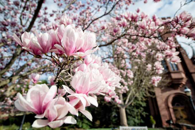 Photo of Saucer Magnolias at the Enid A. Haupt Garden - March 26, 2021 taken by David Coleman.