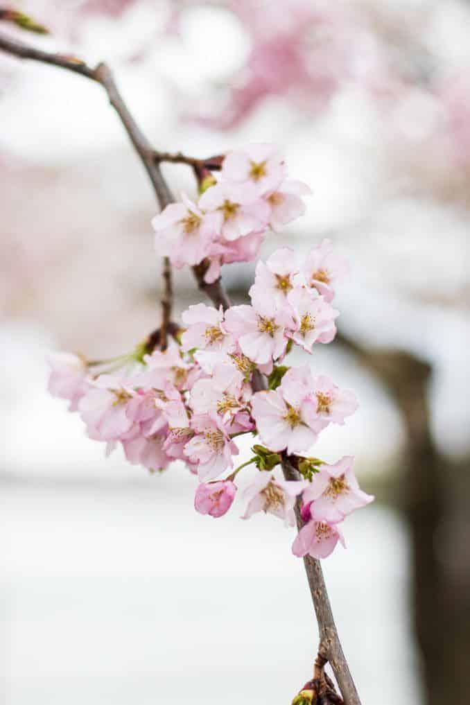 Photo of Washington DC Cherry Blossoms 2021.
