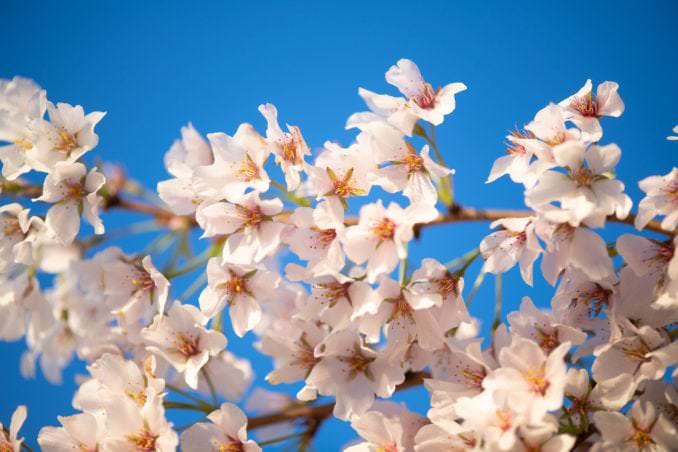 Photo of Washington DC Cherry Blossoms at the Tidal Basin - April 2, 2021 taken by David Coleman.