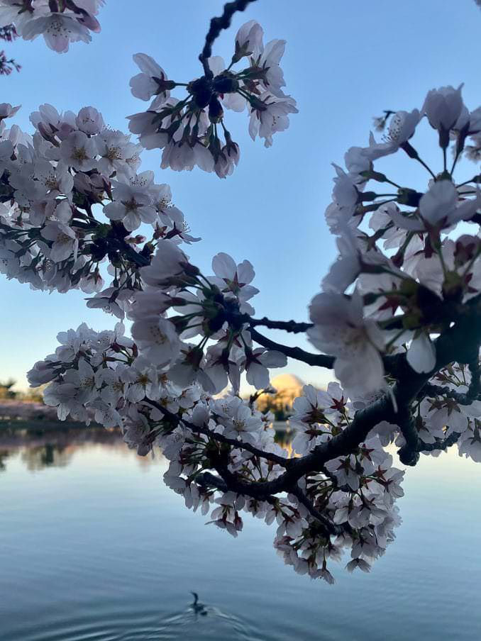Photo of  Washington DC Cherry Blossoms 2021.
