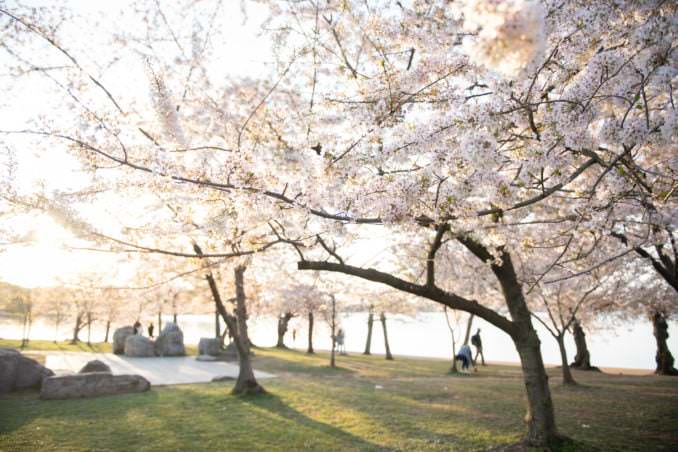 Photo of Washington DC Cherry Blossoms at the Tidal Basin - April 5, 2021 taken by David Coleman.