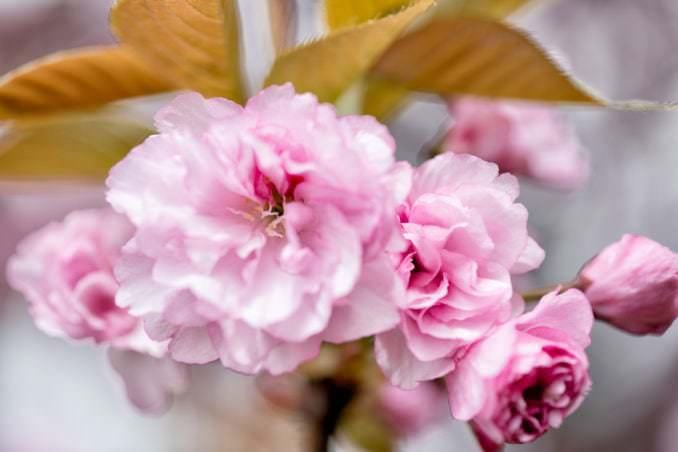 Photo of Kwanzan Cherry Blossoms at East Potomac Park Washington DC - April 12, 2021 taken by David Coleman.